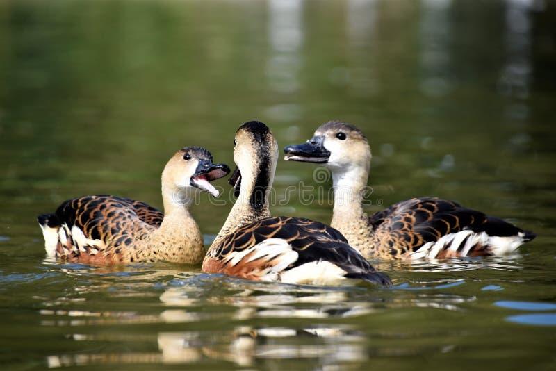 3 ducks on the water stock photos