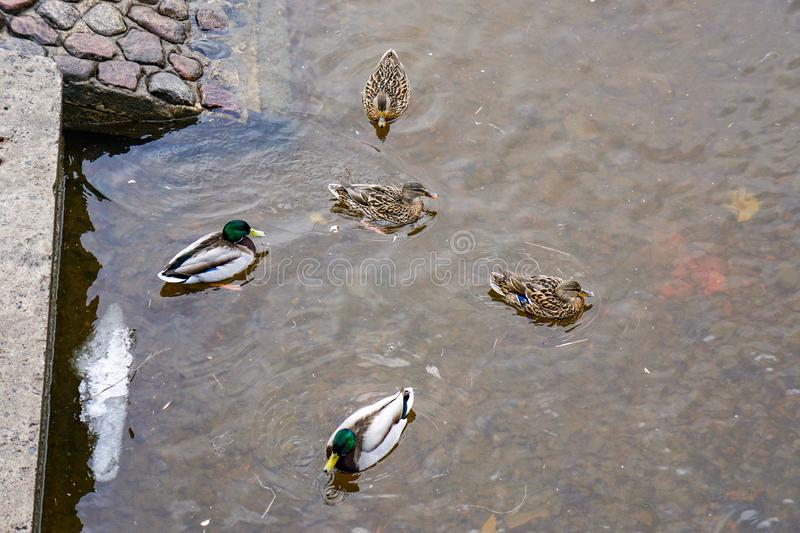 Ducks in the water in spring, park, canal st. petersburg. Snow, cold, bad weather royalty free stock image