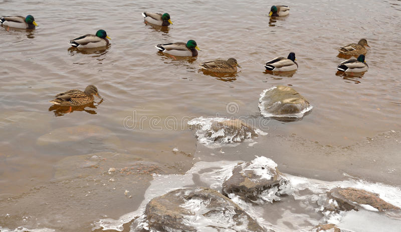 Ducks on the water. Wild duck on the water at cloud day royalty free stock photography
