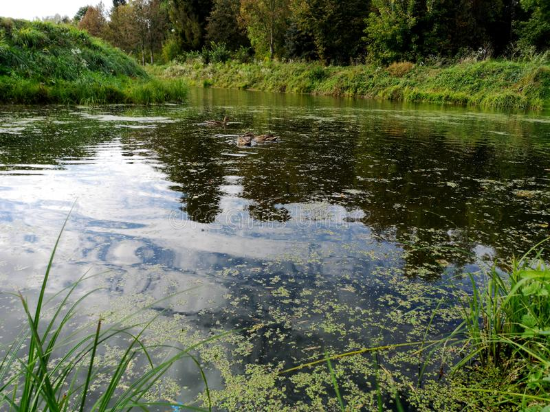 Ducks on a weed covered pond. Photo, bird, nature, wildlife, pool, background, dark, swamp, animal, brown, lake, mallard, swimming, water, waterfowl, weeds stock images