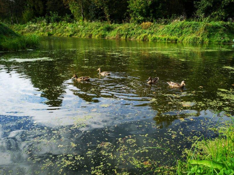 Ducks on a weed covered pond. Photo, bird, nature, wildlife, pool, background, dark, swamp, animal, brown, lake, mallard, swimming, water, waterfowl, weeds stock photography