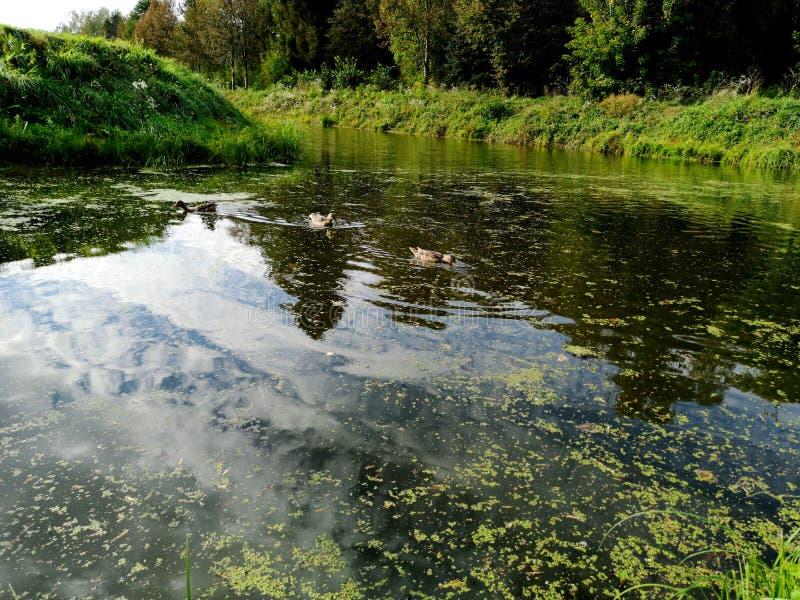 Ducks on a weed covered pond. Photo, bird, nature, wildlife, pool, background, dark, swamp, animal, brown, lake, mallard, swimming, water, waterfowl, weeds royalty free stock images