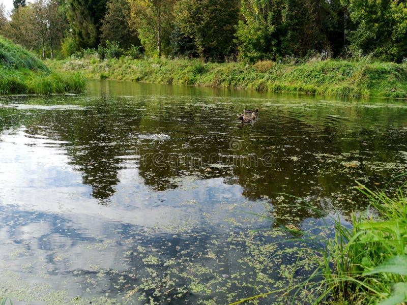 Ducks on a weed covered pond. Photo, bird, nature, wildlife, pool, background, dark, swamp, animal, brown, lake, mallard, swimming, water, waterfowl, weeds royalty free stock photography