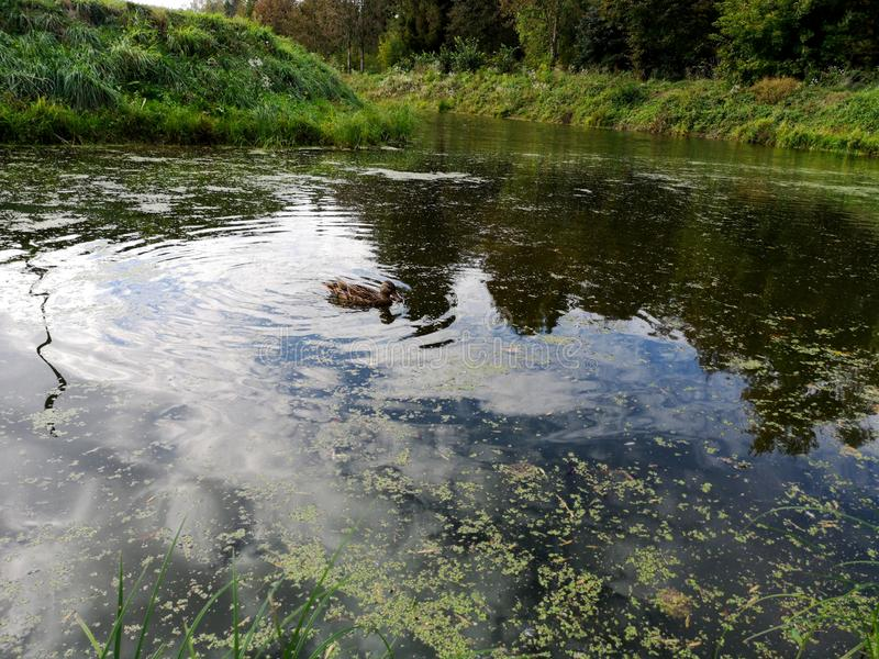 Ducks on a weed covered pond. Photo, bird, nature, wildlife, pool, background, dark, swamp, animal, brown, lake, mallard, swimming, water, waterfowl, weeds royalty free stock photo