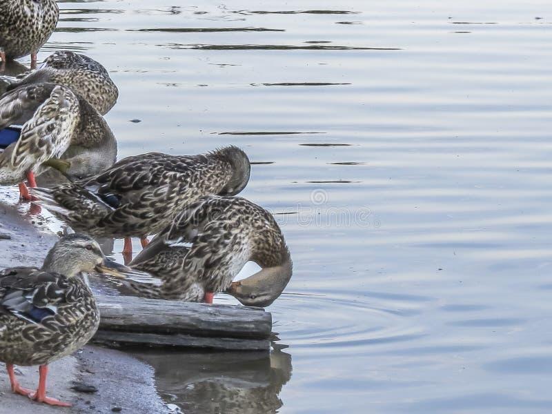 Duckt Selbstreinigung an regionalem Ostpark EL Dorado lizenzfreie stockfotografie