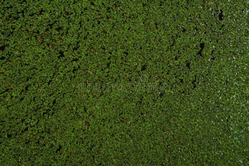 Duckweed плавая на поверхность воды стоковая фотография rf