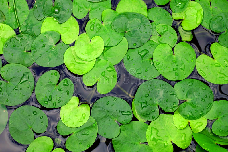Duckweed. In lake water - abstract natural background royalty free stock image