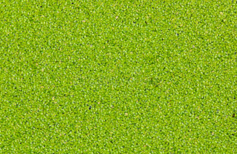 Duckweed. Or water lentil as background royalty free stock photos