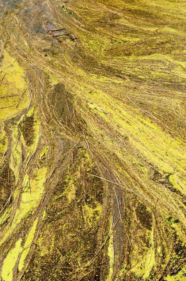 Duckweed royaltyfri fotografi