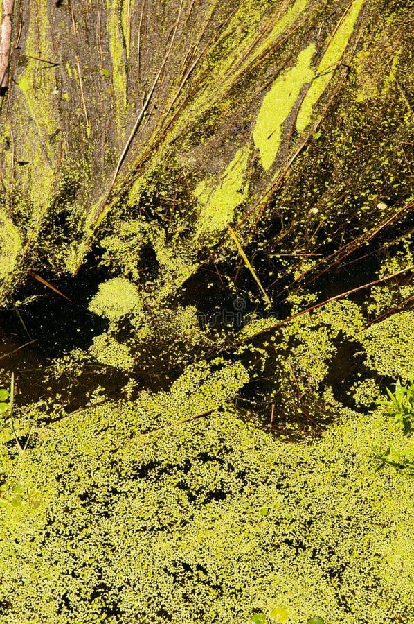 Duckweed fotografering för bildbyråer