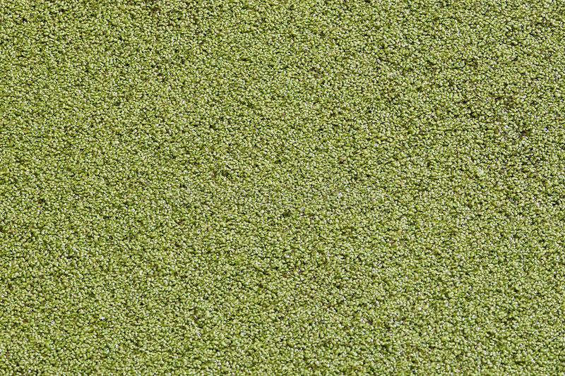 Download Duckweed stock photo. Image of circle, fifty, border - 27115106