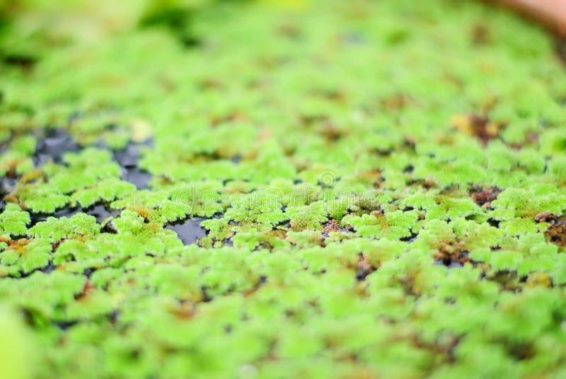 duckweed arkivfoton