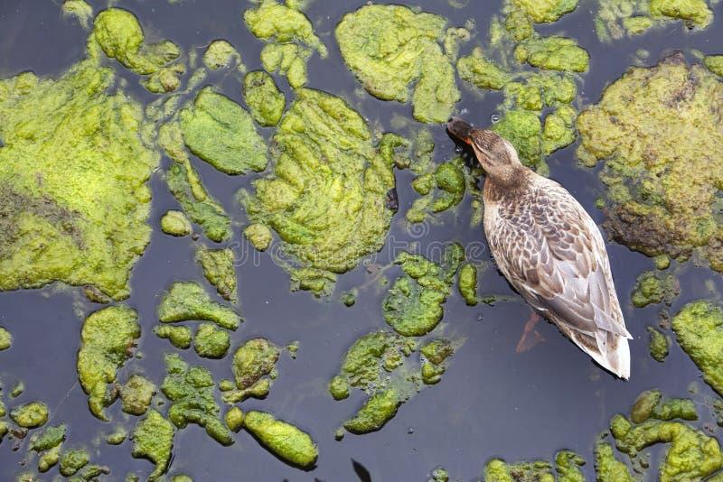 Download Duckweed zdjęcie stock. Obraz złożonej z scena, kaczka - 53782616