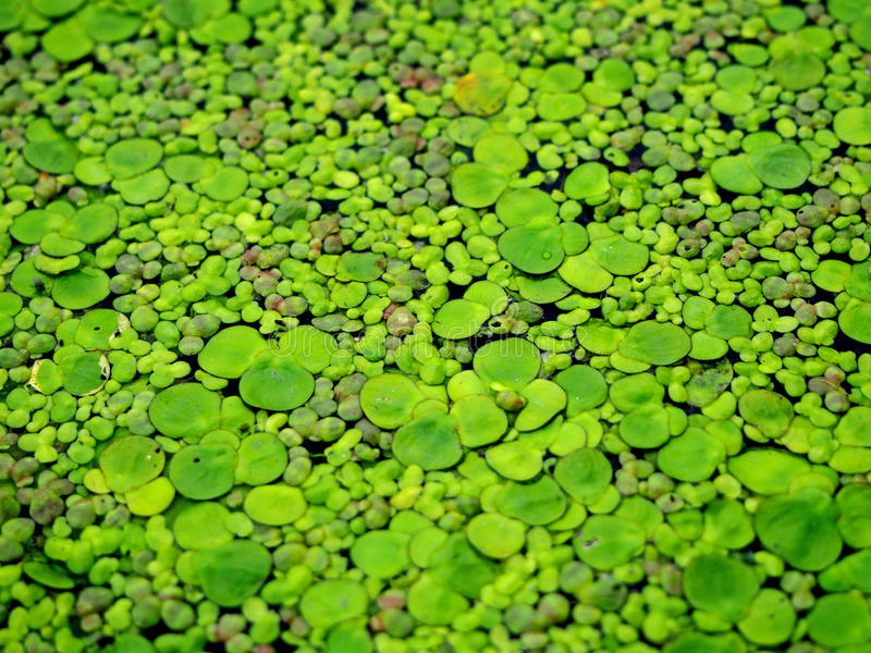 Duckweed background. Duckweed an abstract pattern on a river surface royalty free stock images