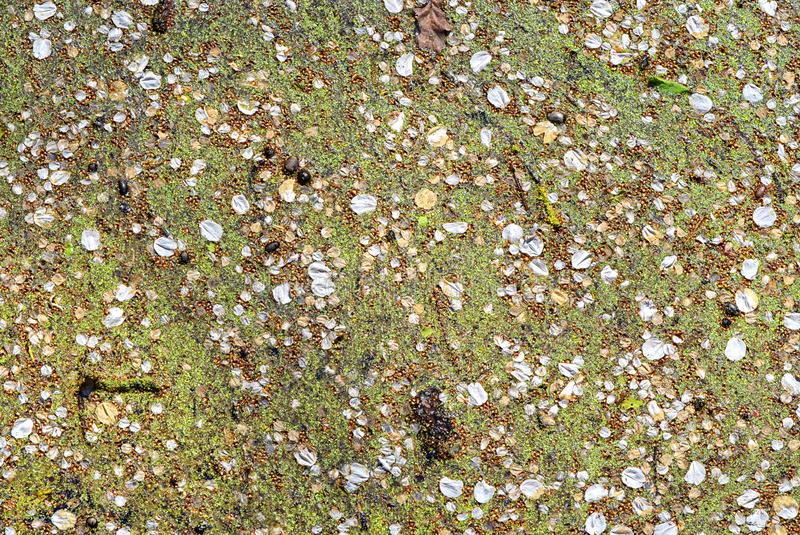 Duckweed with cherry blossom petals laying on top. New Haw, Surrey. Between two lock gates, Duckweed Lemnoidae has covered the water of the River Wey and the stock photography