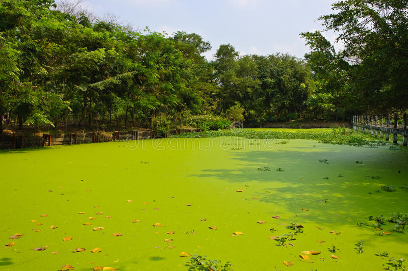 Duckweed covered pond. In park royalty free stock images
