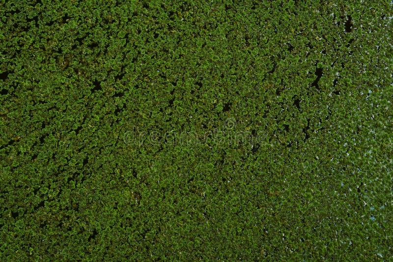 Duckweed floating on water surface. Green texture background royalty free stock photography