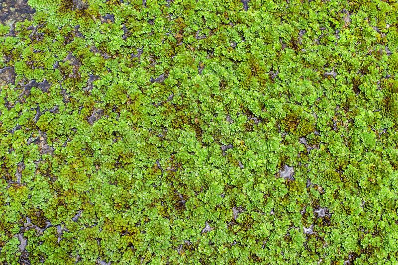 Duckweed. Or Lemnoideae is floating pond plant. Leaves bacground royalty free stock images