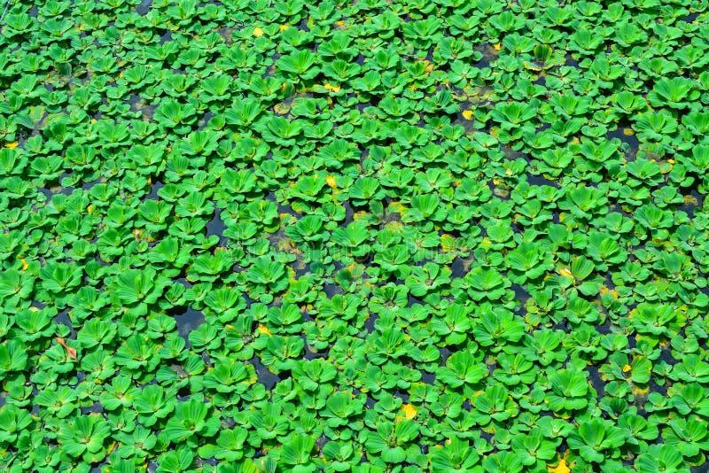 Duckweed lub wody obiektyw, kwitnie nadwodne rośliny które unoszą się dalej obrazy stock