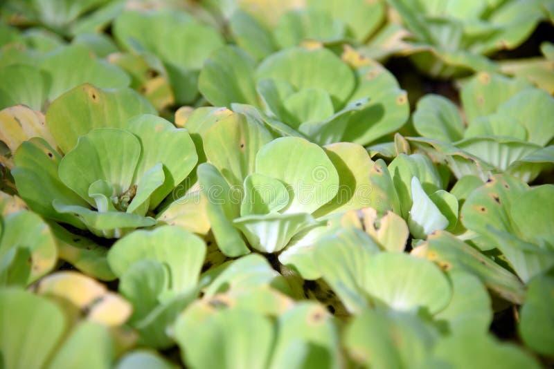 duckweed Naturlig bakgrund för grön andmat på vatten royaltyfri foto