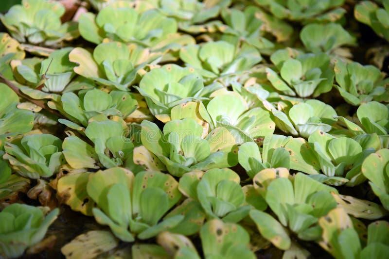 duckweed Naturlig bakgrund för grön andmat på vatten fotografering för bildbyråer