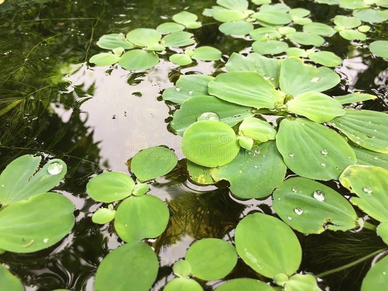 duckweed Naturlig bakgrund för grön andmat på vatten arkivfoto