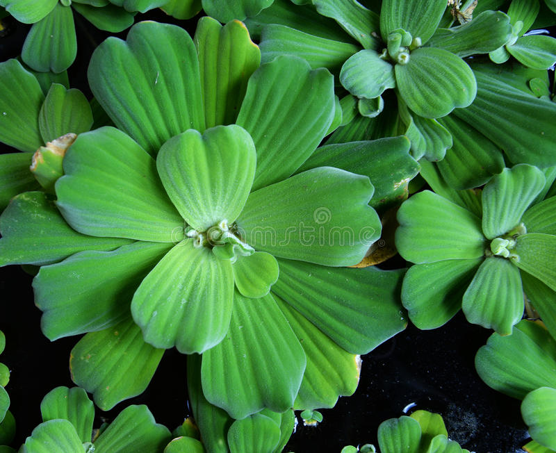 Duckweed. Plant covered on the water pond royalty free stock photos