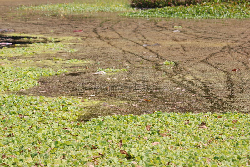 Download Duckweed in pond stock photo. Image of growth, beautiful - 12050790