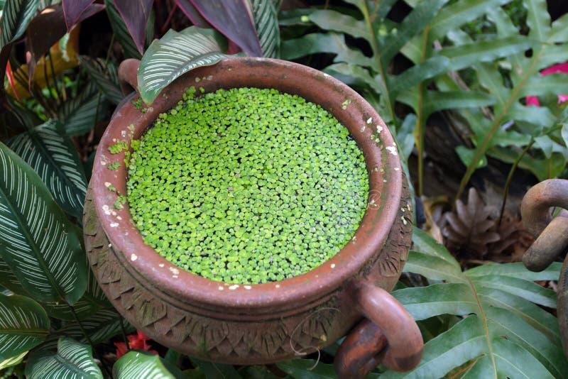 Duckweed in pot. Duckweed plant floating in water pot stock photo