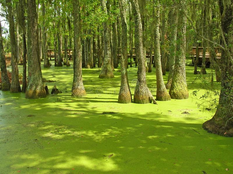 Duckweed Swamp. Area in South Carolina stock image