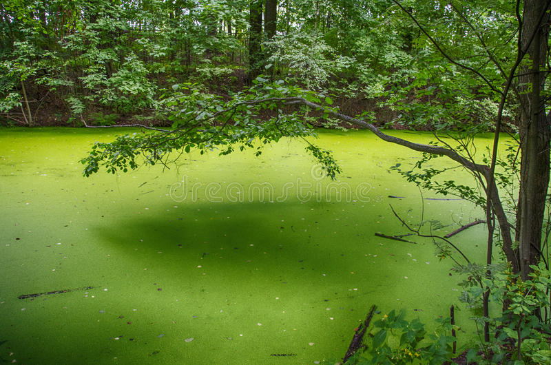 Duckweed swamp. In the forest royalty free stock image