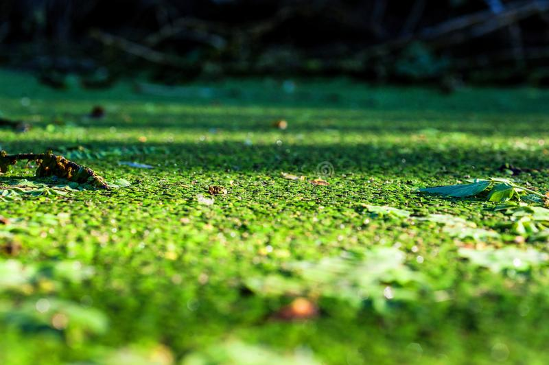 Duckweed in pond. Duckweed in the swamp, photo in summer day stock images