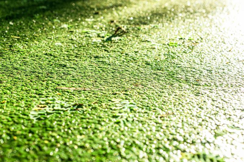 Duckweed in pond. Duckweed in the swamp, photo in summer day royalty free stock image