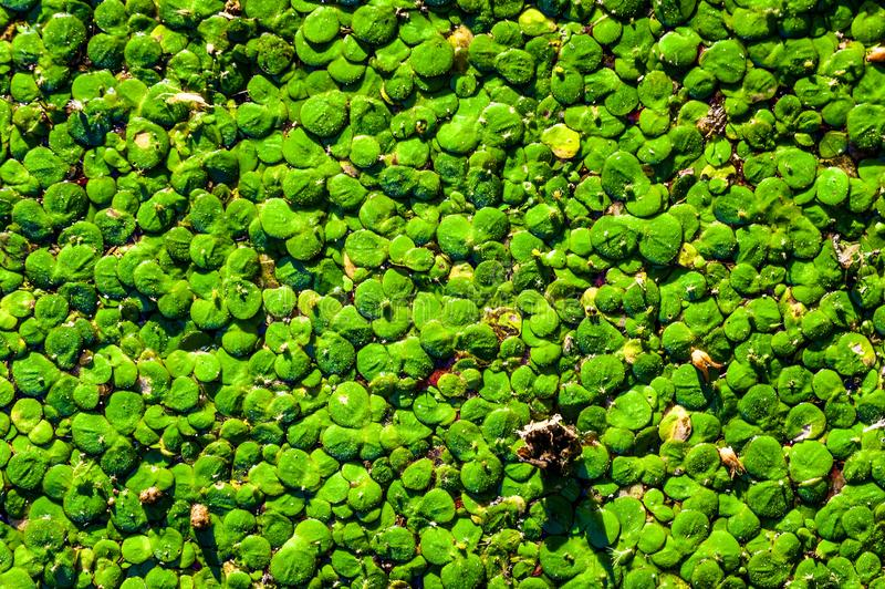 Duckweed in pond. Duckweed in the swamp, photo in summer day royalty free stock photography