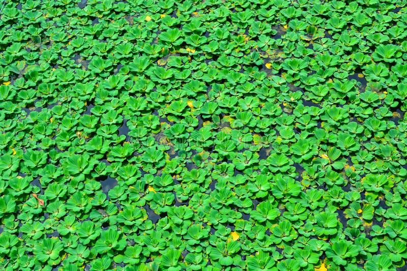Duckweed or water lens, are flowering aquatic plants which float on. stock images
