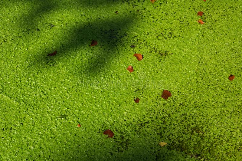 Duckweed. Water lens, Lemnoideae , aroid family Araceae , aquatic plant on the surface of the water. Shadows over plants royalty free stock images