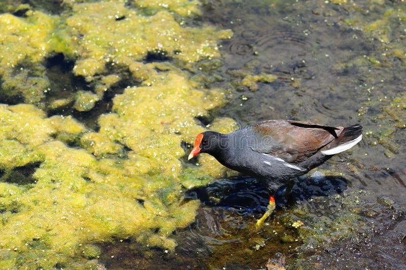 duckweedmoorhen royaltyfri fotografi