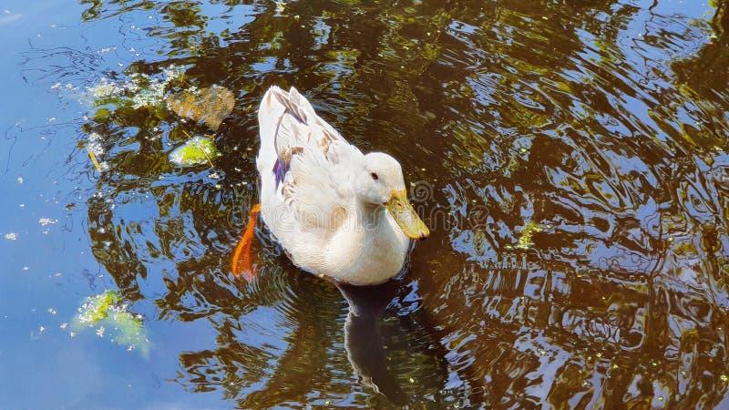 Ducky στο νερό πάρκων στοκ φωτογραφίες