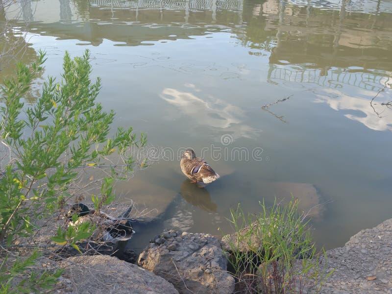 ducky stockfotografie