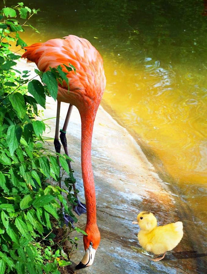Ducky encontra o flamingo foto de stock royalty free