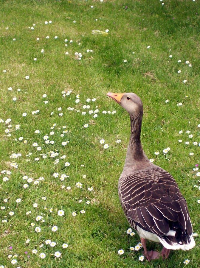 ducky hälsningar royaltyfri bild