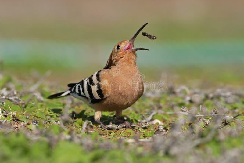 Dudek, Upupa epops, ptak z otwartym rachunkiem z jedzeniem, Gran Canaria zdjęcia royalty free