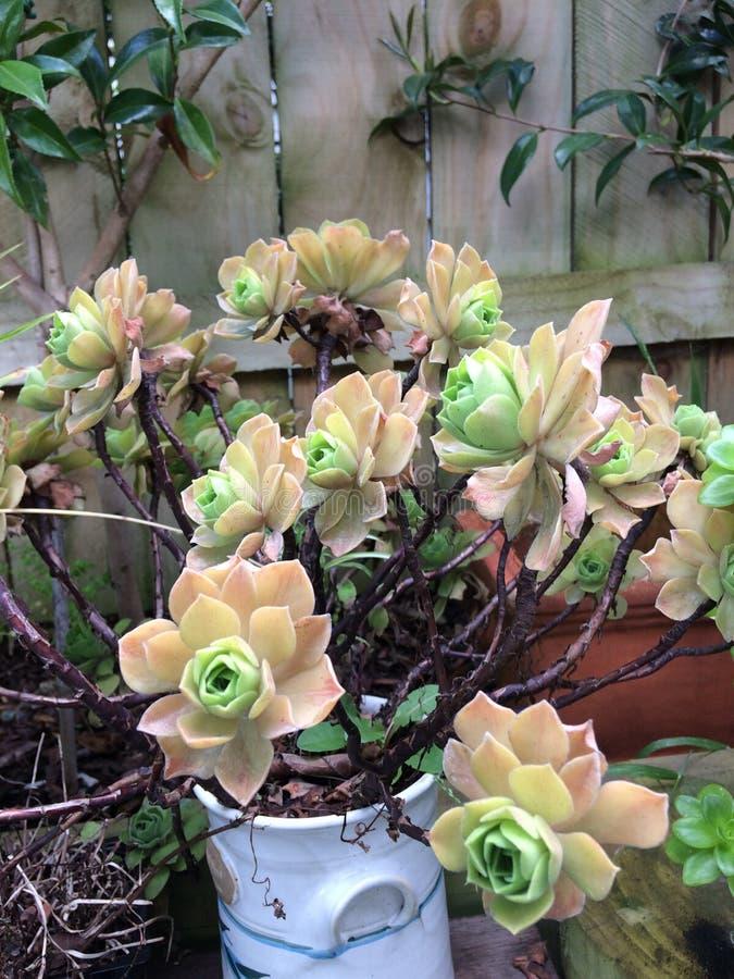 Dudleya är en dekorativ sukulativ anläggning Gardening, dekoration royaltyfri foto