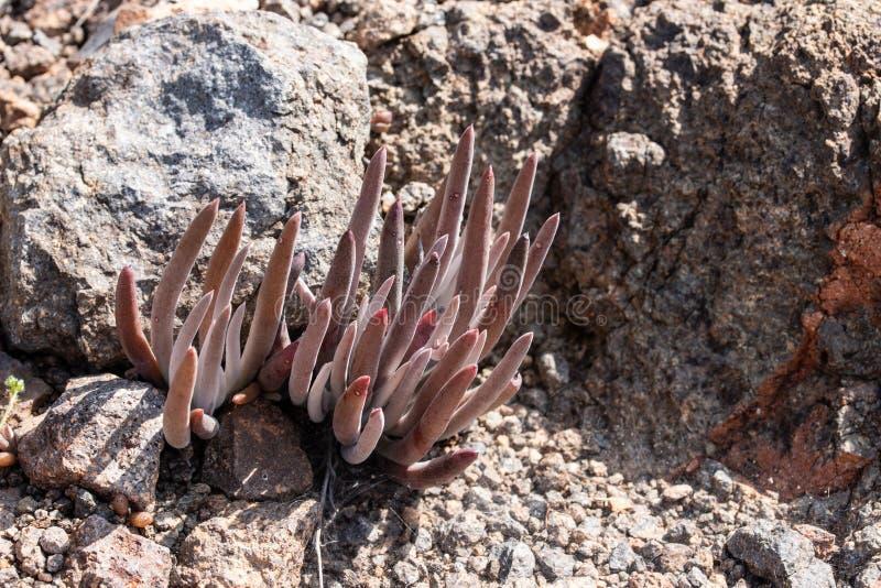 Dudleya attenuata or Thin-leaved Dudleya. Of Ensenada, Baja California the best California Mexico stock image