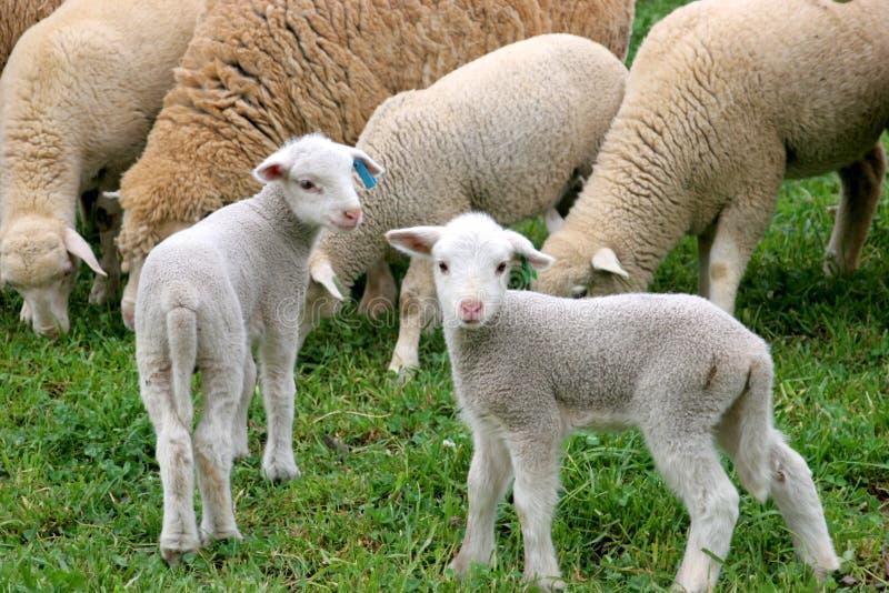 Due agnelli immagini stock
