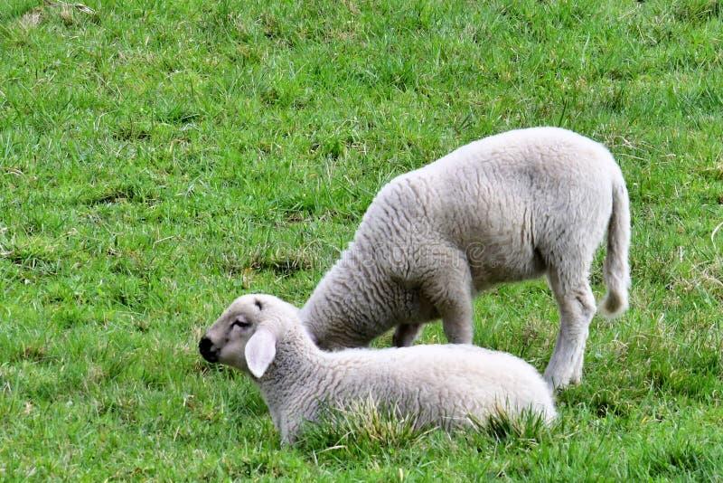 Due agnelli che pascono su un prato immagini stock libere da diritti