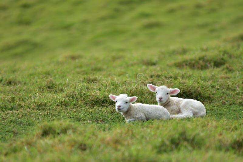Due agnelli che riposano l'erba della o immagine stock