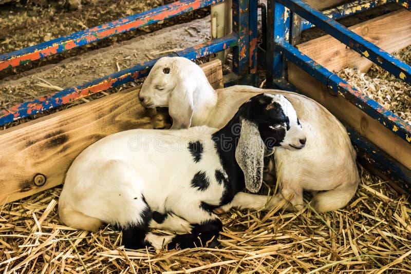 Due agnelli del bambino che dormono nell'angolo della penna immagini stock libere da diritti