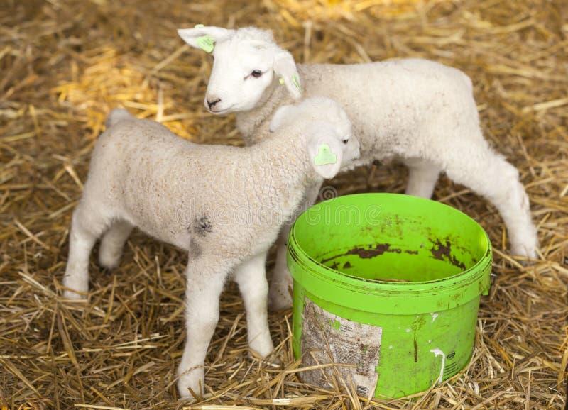 Due agnelli neonati su paglia con il secchio di acqua verde immagini stock
