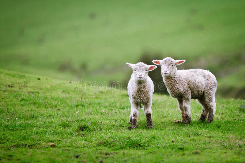Due agnelli sul prato. fotografia stock